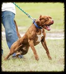 american pitbull terrier puppies louisiana chocolate red nose american pit bull terrier working males