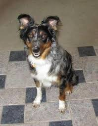 5 year old australian shepherd 10 best images about fosters on pinterest the best buy 10 month