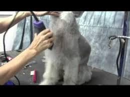 grooming a bedlington terrier puppy bedlington terrier grooming instructions onlinegroomingschool com