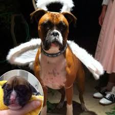 boxer dog vine couple spends nearly 100k to clone their dying dog u2014 see their