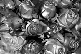 silver roses roses in b w photo a day 52 douglas sandquist dds