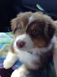 australian shepherd red merle puppy 1106 best betsy u0027s puppies and babies board images on pinterest