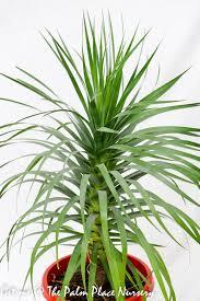 dracaena dracaena ellenbeckii 30cm the palm place nursery