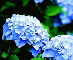 white and blue flowers best blue flowers for your garden better homes gardens