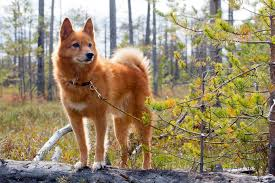 american eskimo dog price in kolkata finnish spitz dog breed information pictures characteristics