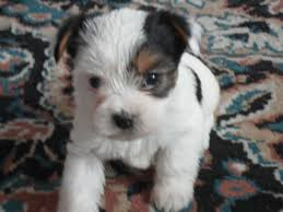 australian shepherd yorkie puppies montana miniature dachshunds for sale mt yorkie puppies for sale