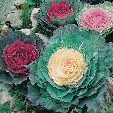 ornamental cabbage seeds from d t brown seeds