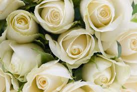 white roses for sale cabbage plants for sale cabbage roses