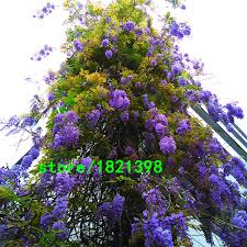 sale unique bonsai plant blue wisteria tree seeds indoor