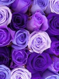 purple pictures about purple roses purple and
