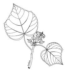 drawings of leaves sketches mucilaginous leaves or other plant