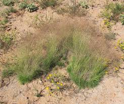 native plants of arizona seinet arizona chapter muhlenbergia torreyi