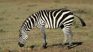 a new explanation for zebra stripes science aaas