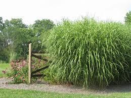 124 best ornamental grasses images on ornamental