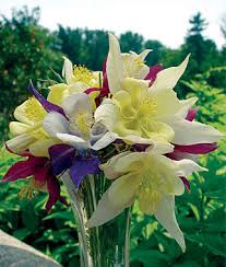 Columbine Plant Columbine Seeds And Plants Burpee Com
