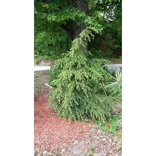 wholesale conifer trees cedar trees mi cold farm