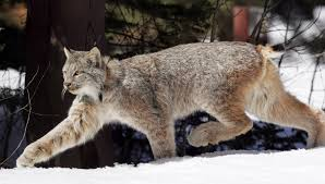 Vermont wildlife images Canada lynx may be on rise in northeast vermont lynx love jpg