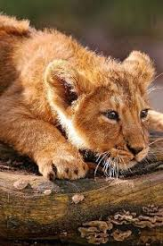 lion cub close u0026 color photography