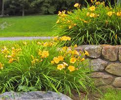 Stella Daylily Bloomingfields Farm Daylilies Stella De Oro Landscape Plantings