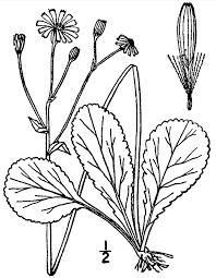 native plant database packera obovata wikipedia