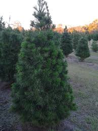 christmas christmase farms near me marvelous photo inspirations
