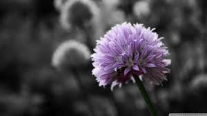 purple flower on black and white background hd desktop wallpaper