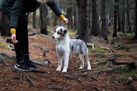 australian shepherd crufts 2015 our dogs víkur australian shepherds top australian shepherds