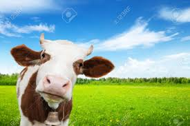 cow and field of fresh grass stock photo picture and royalty free