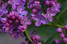 lilac flowers lilac flower images pixabay free pictures