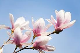 magnolia flowers magnolia flowers on sky stock photo image of tree delicate