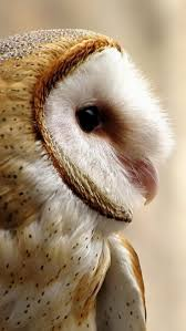 Where Does The Barn Owl Live Best 25 Barn Owls Ideas On Pinterest Beautiful Owl Owls And