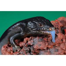 melanistic black blue tongue lizards amazing amazon
