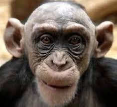 Chimp Meme - chimp memes memeshappen