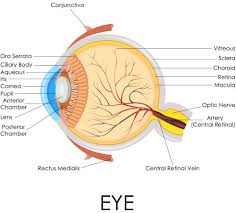 Anatomy Of The Eye Anatomy Of The Eye Larbalestier Opticians