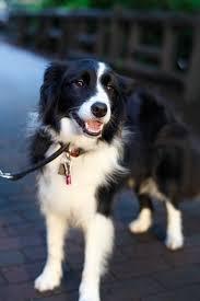 australian shepherd x border collie best 25 border collie ideas on pinterest border collie puppies