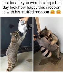 Dat Ass Cat Meme - awesome silly raccoon that s for the cat wallpaper site