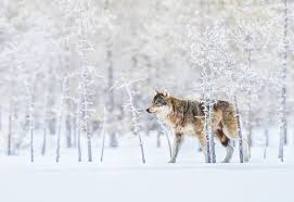 photo of the day december 25 finland and wolf