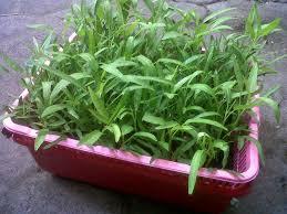 cara membuat cairan hidroponik cara menanam kangkung hidroponik cara tanaman hidoponik di rumah