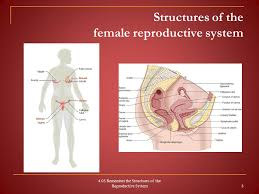Cul De Sac Anatomy Female 4 05 Remember The Structures Of The Reproductive System Ppt Download