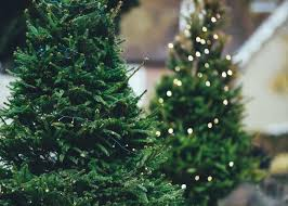 how to care for a christmas tree care tips the old farmer u0027s