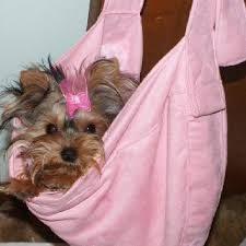 99 best yorkie ina bag images on yorkies