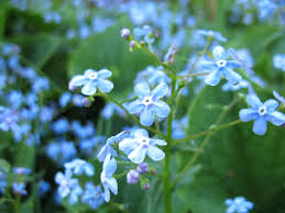 plants native to africa forget me not weeds u2013 tips on controlling forget me not plants