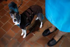 bichon frise kennels 141st westminster kennel club dog show