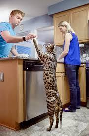 photos tallest cat longest fingernails longest eyelashes u0026 more