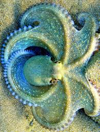 blue clover octopus absolutely beautiful cute animal love
