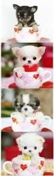 affenpinscher puppies florida affenpinscher puppy fluffies pinterest dog animal and doggies