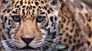 Desktop Hd Free Pictures Animals Animals Monitor Screen Multi Felin Leopard Animal