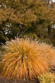 grass monrovia grass