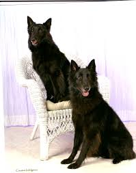belgian sheepdog idaho gold puppy