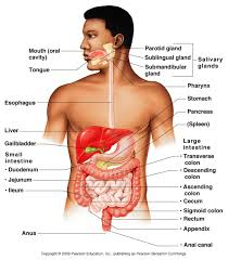 Anatomy Structure Of Human Body Digestive System Overview Anatomy U0026 Physiology